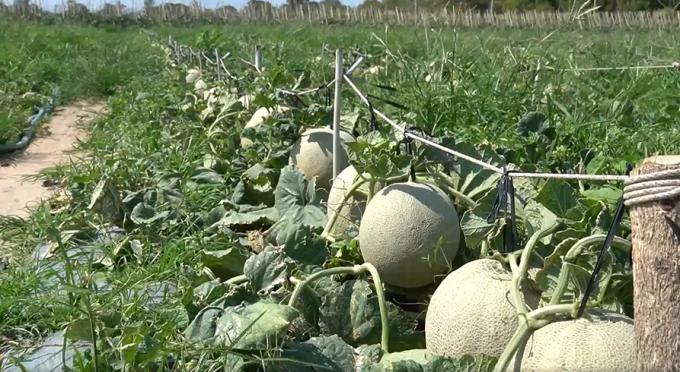 Vùng chuyên canh dưa lưới huyện Xuyên Mộc gặp nhiều khó khăn do sức mua giảm mạnh