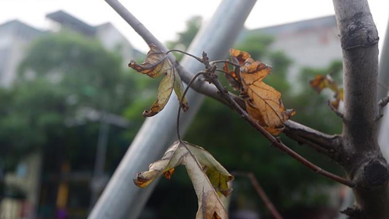 Hà Nội: Hàng cây phong trơ cành, có dấu hiệu chết khô