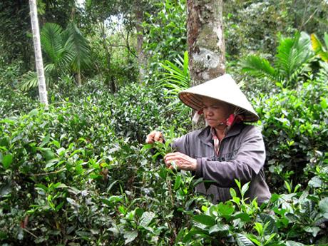 Về Phú Hội thưởng trà, tận hưởng bình yên