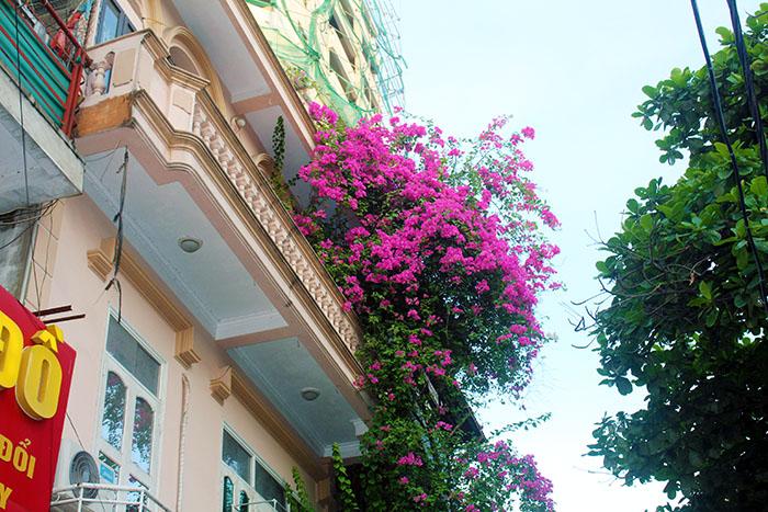 Đẹp dịu dàng giàn hoa giấy khoe sắc, tô điểm cho không gian xanh Hà Nội