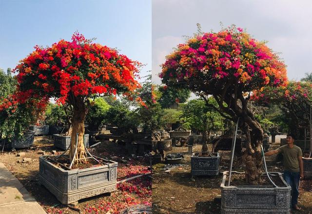 Chơi Tết sang: Đại gia đổi cả chung cư tiền tỷ lấy cây hoa giấy 5 màu