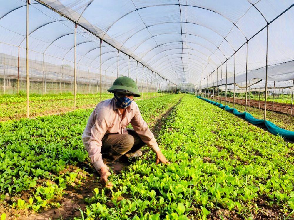 Sản xuất vụ Đông ở Hà Nội: Đột phá từ chính sách hỗ trợ
